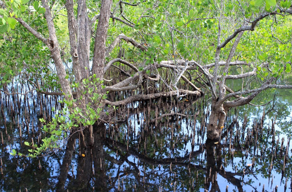 Mangroves in the Seychelles